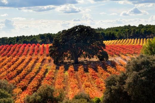 Viñedos de la finca agrícola El Renegado en Otoño