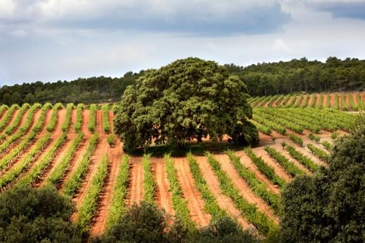 Viñedos de la finca agrícola El Renegado en Primavera