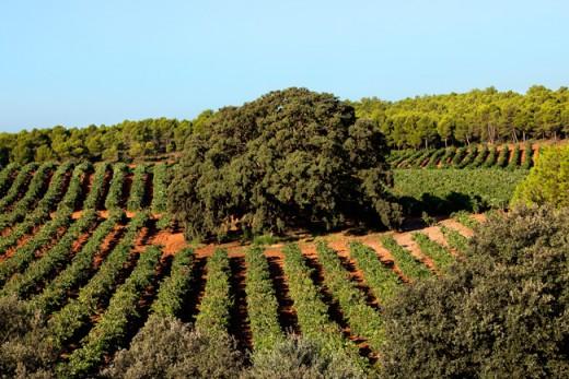 Viñedos de la finca agrícola El Renegado en Verano
