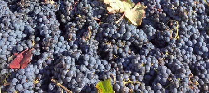 Uvas de la Jornada de la Vendimia
