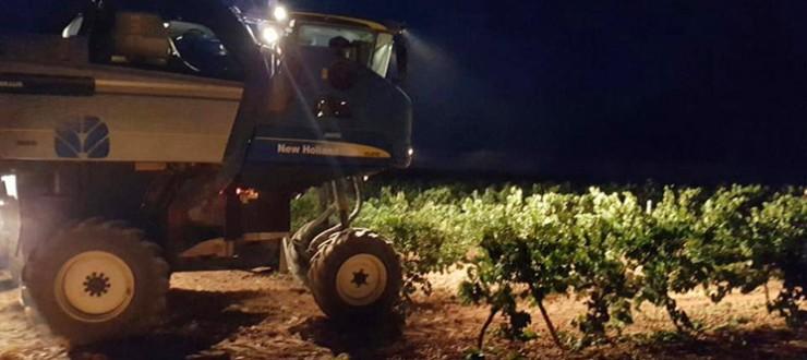 Vendimia nocturna de Chardonnay