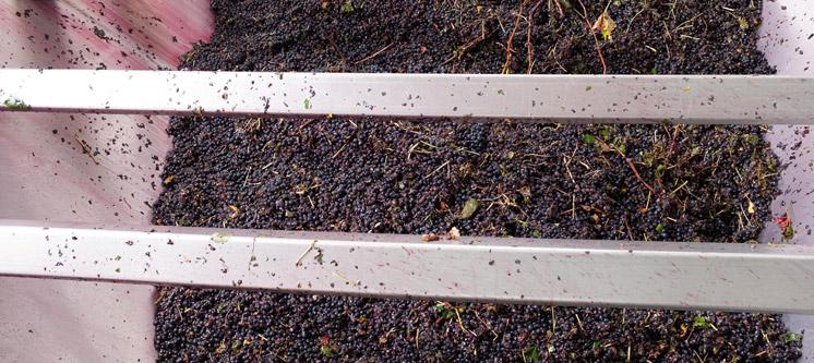 Uvas recolectadas